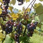 Concord Harvest
